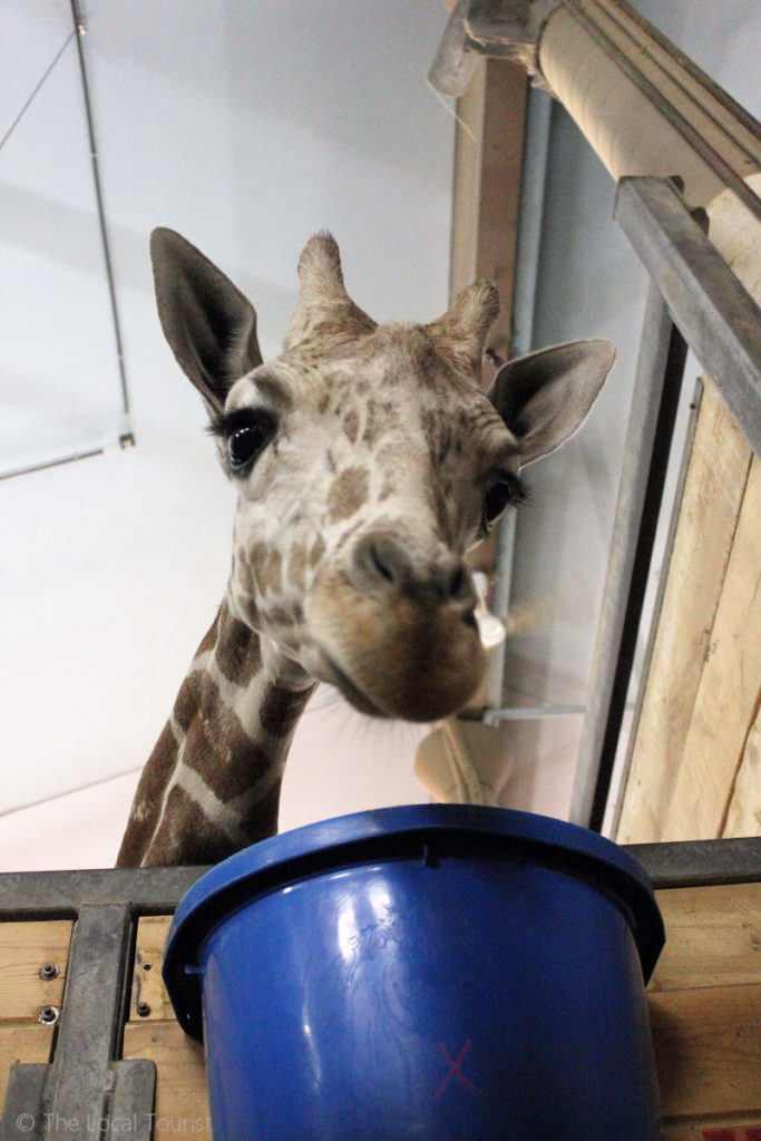 Giraffe at Como Park Zoo