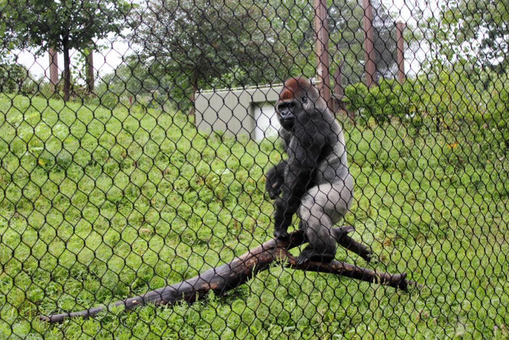 Gorilla at Como Park Zoo