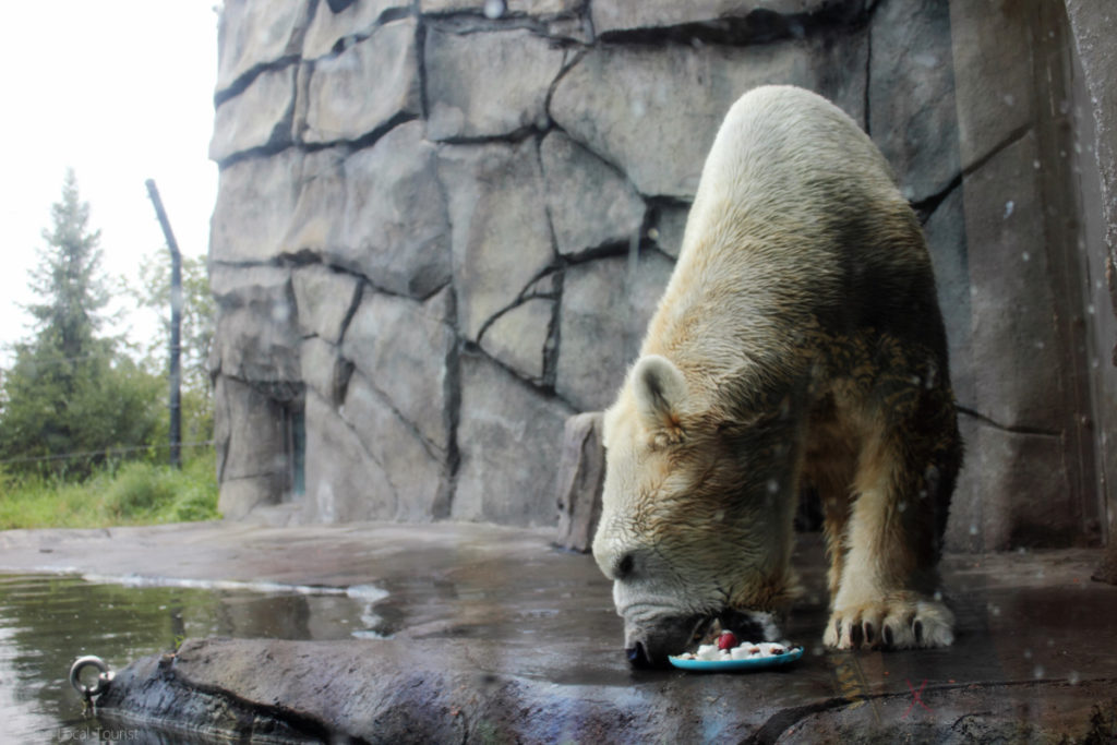Polar bear at Como Park Zoo enjoying those enrichments.