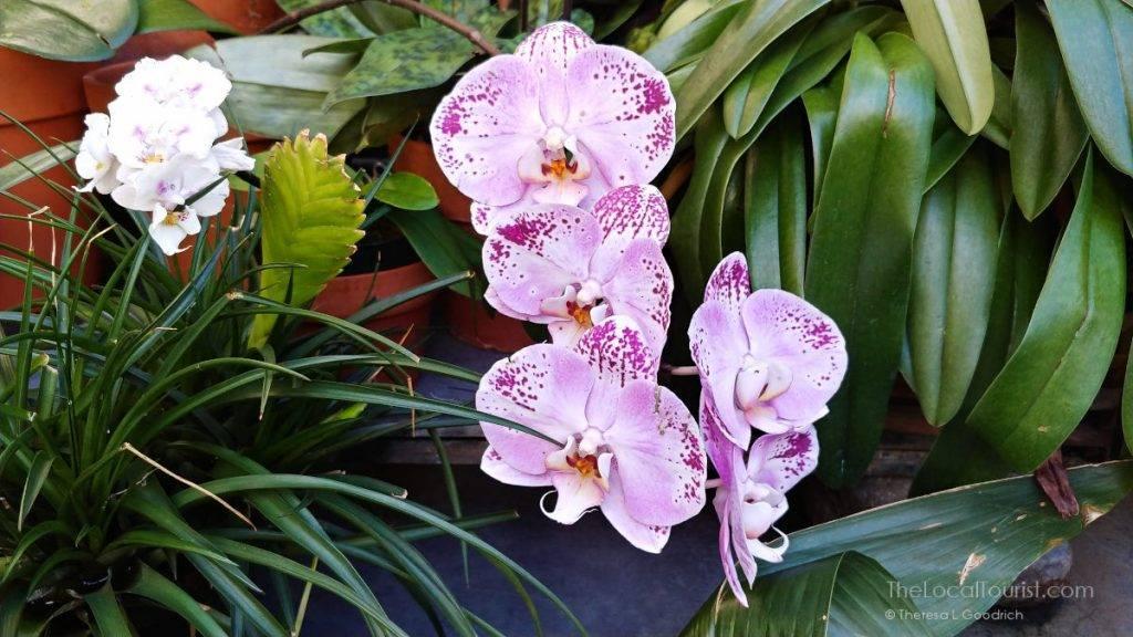 Orchids at Biltmore Estate