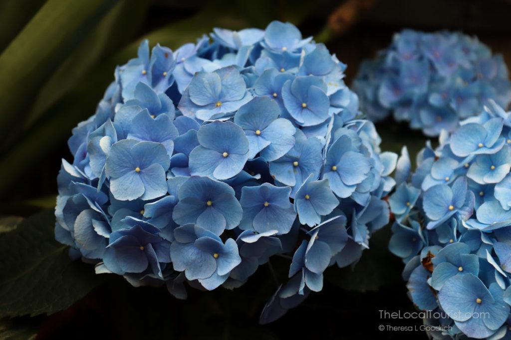 Hydrangea at Biltmore Blooms