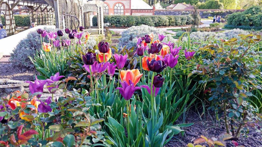 Tulips and the greenhouse