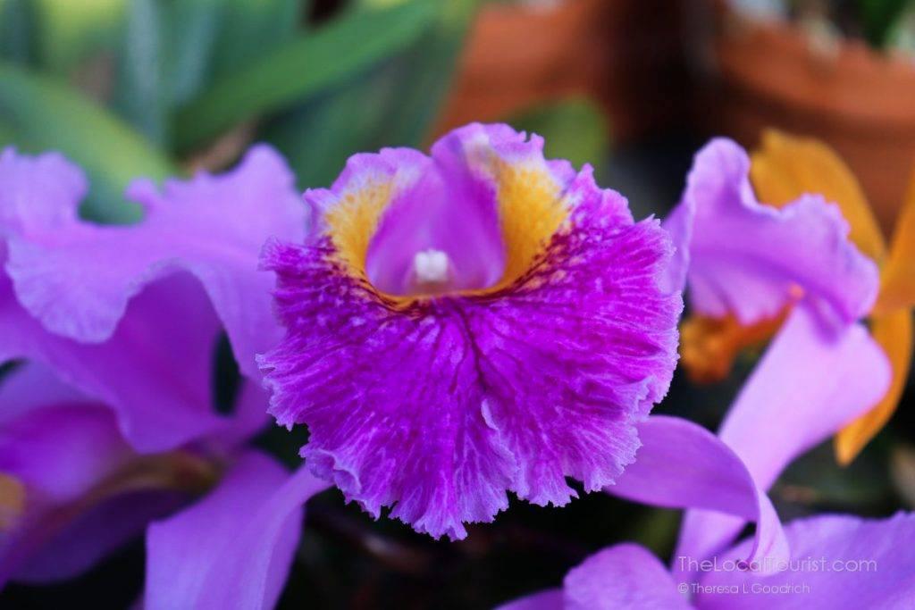 Close-up of orchid at Biltmore Estate