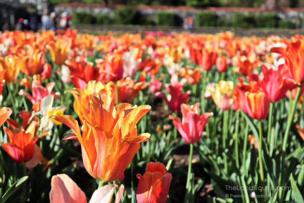 Tulips at the Biltmore