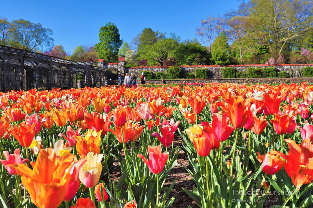 Field of tulips at the Biltmore in Asheville, North Carolina