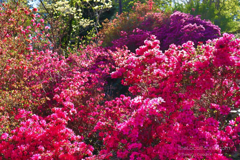 Azaleas at Biltmore Blooms