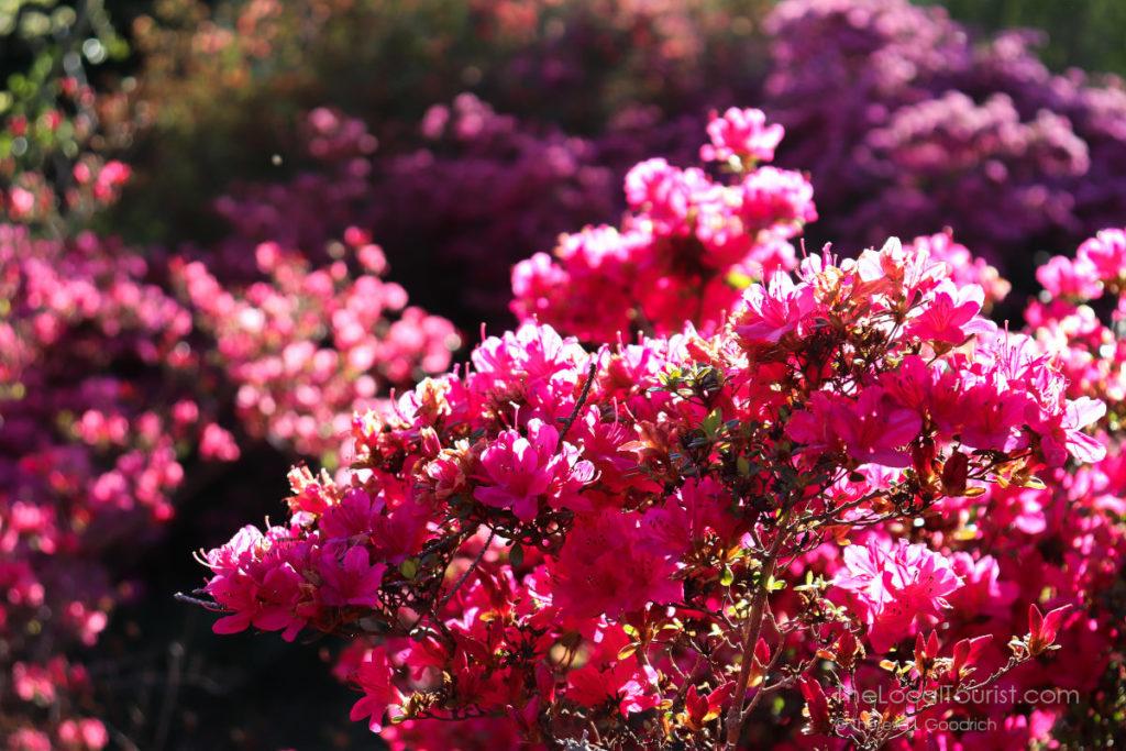 Blooming bush at Biltmore Blooms