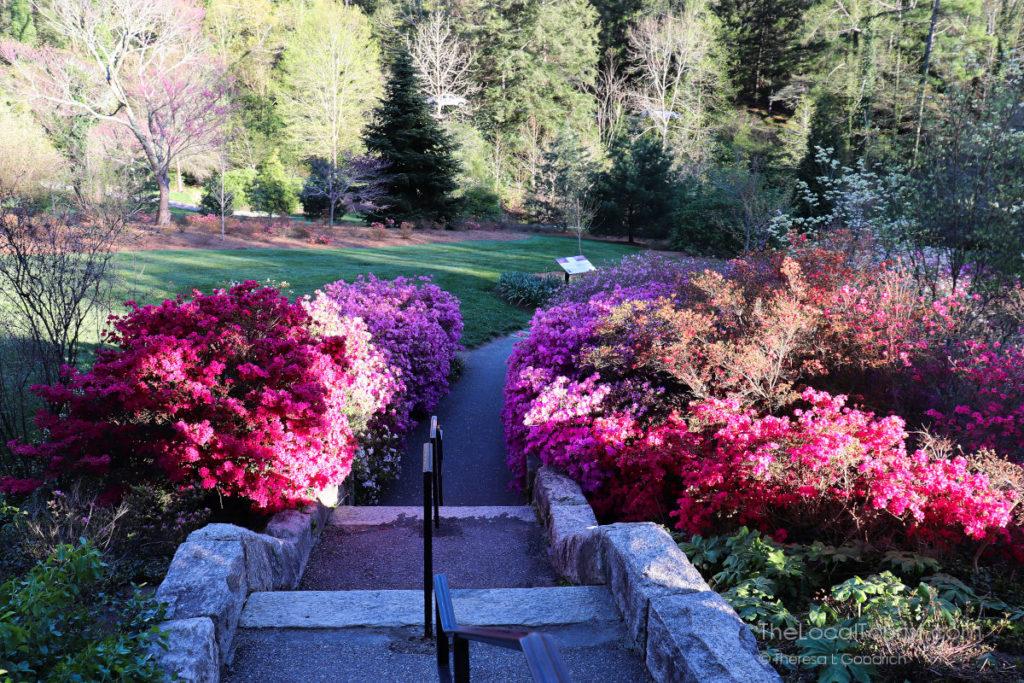 Azaleas in the Biltmore gardens