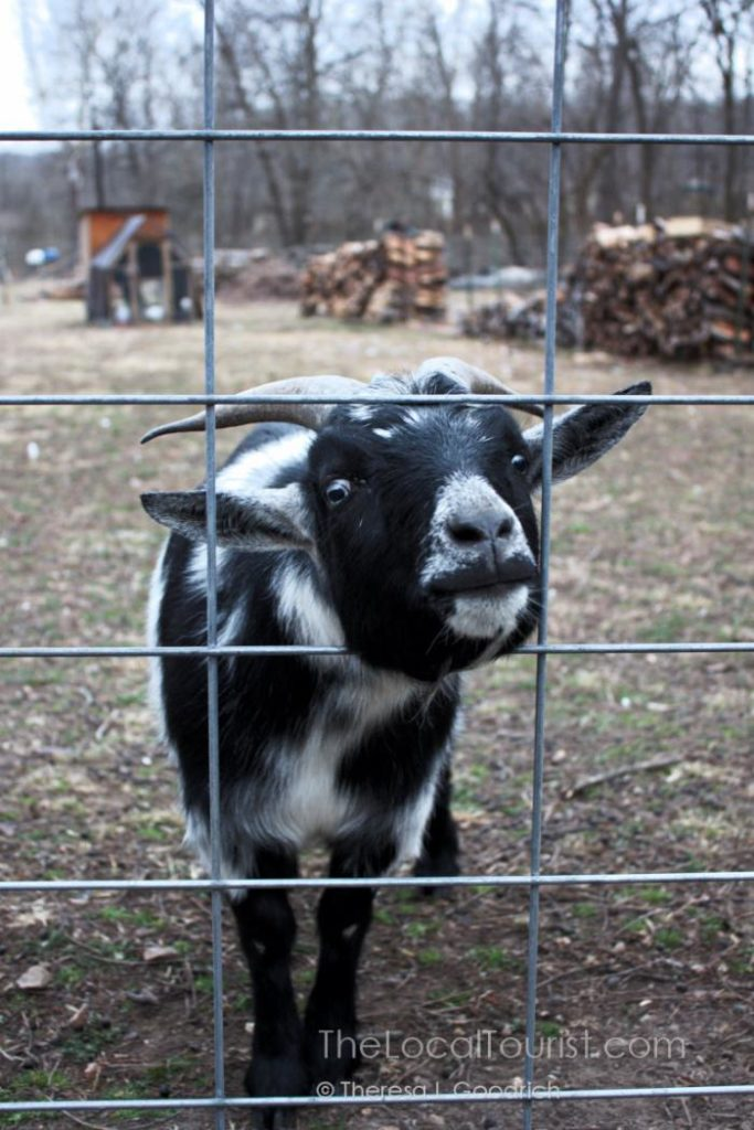 Goat at Blue Jay Farm