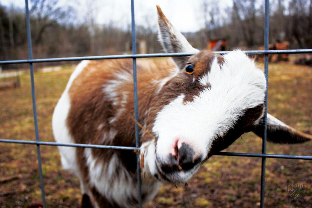 Goat at Blue Jay Farm