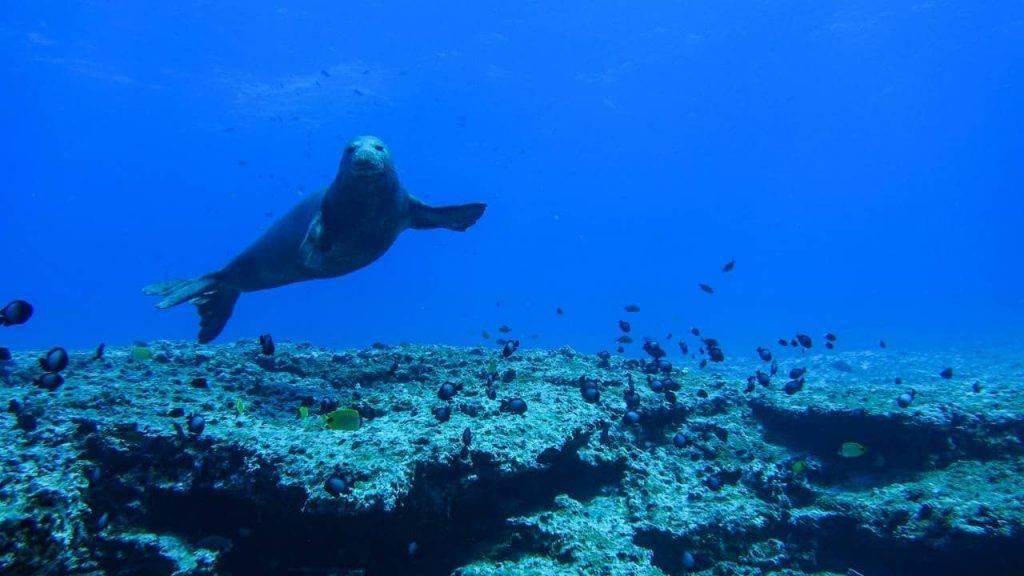 Monk Seal at Papahanaumokuakea Marine National Monument