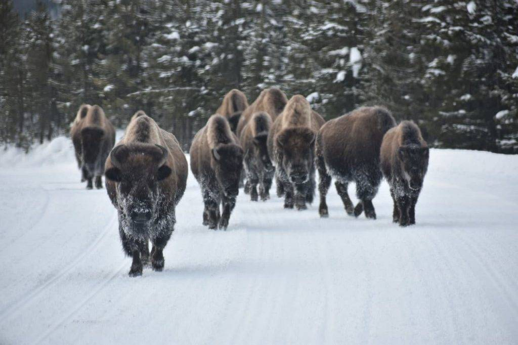 Bison in Yellowstone National Park, photo by Francesca Mazurkiewicz, The Working Mom's Travels