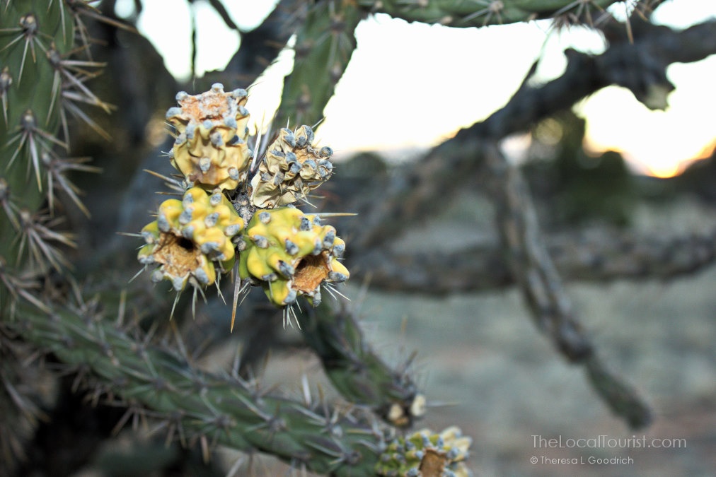 Cholla cactus at Santa Rosa State Park