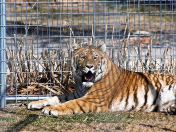 Rescued tiger at Turpentine Creek Wildlife Refuge