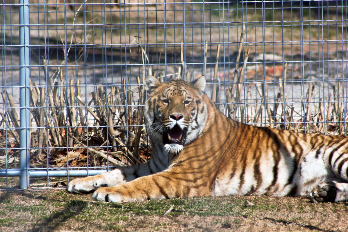 Rescued tiger at Turpentine Creek Wildlife Refuge