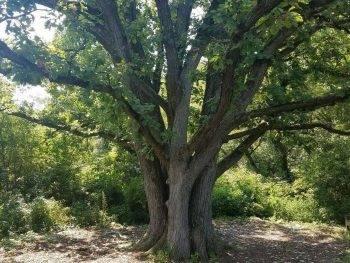 Massive tree at Gabis Arboretum in Valparaiso Indiana