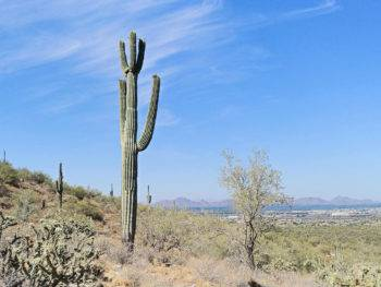 Saguaro cactus overlooking Scottsdale Arizona