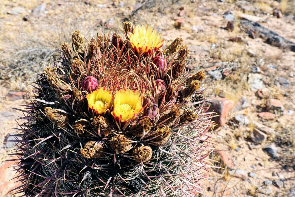 Flowering cactus in McDowell Sonoran Preserve