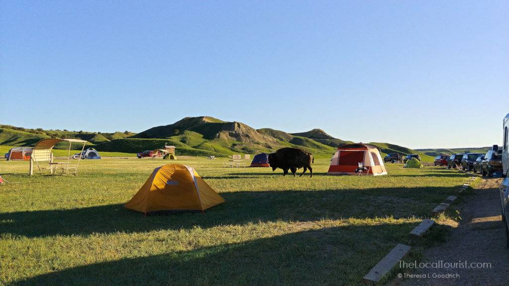 Bison in Sage Creek Campground - Badlands National Park