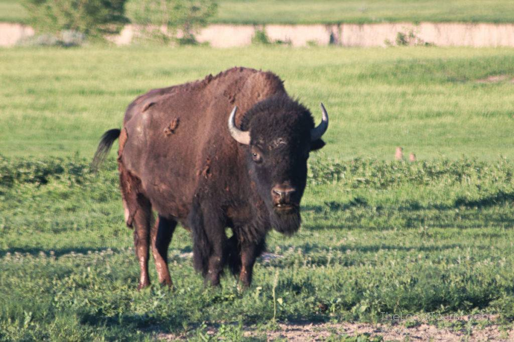 Bison at Badlands National Park