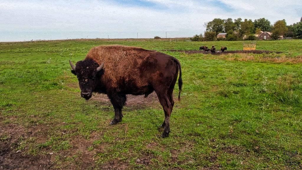 Bill Fluhrer's Bison