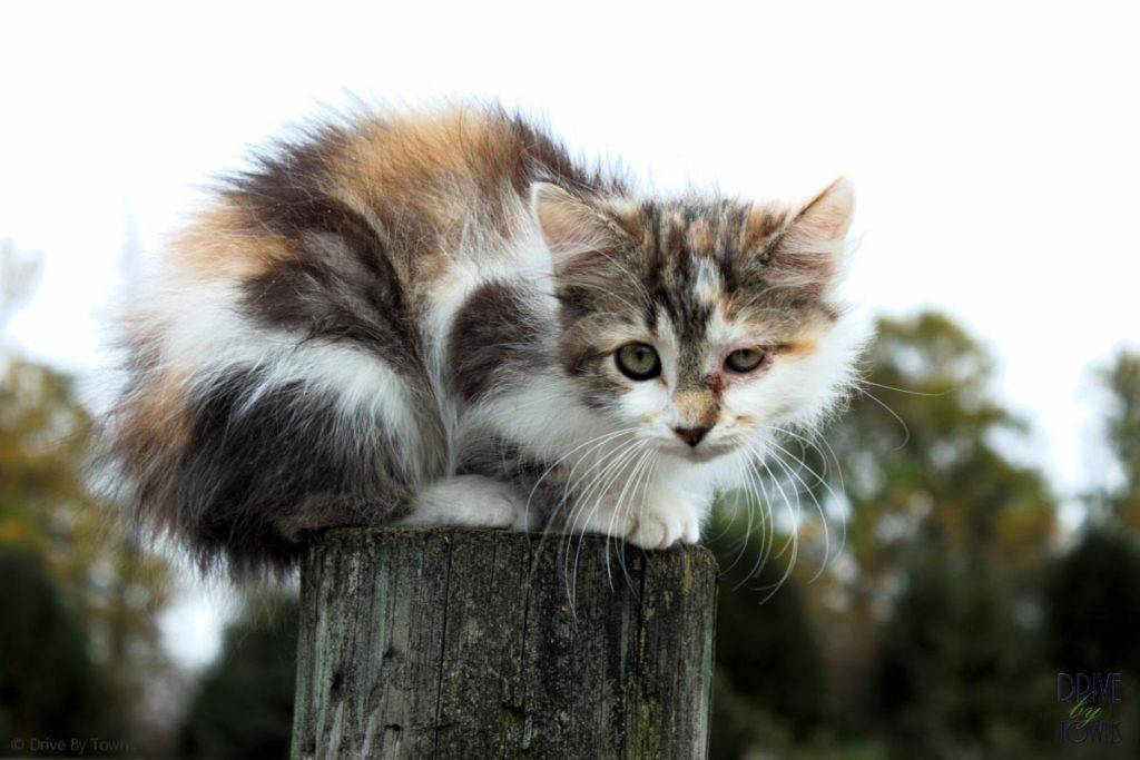 Farm Kitty