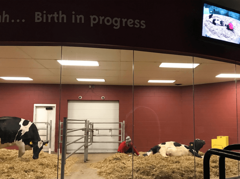 Calf being born at the birthing barn