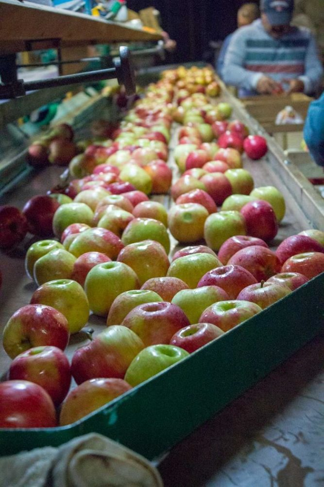 apples being selected for cider at Beasley's Orchard