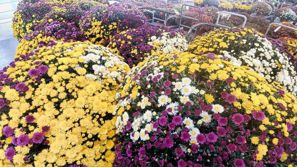 Giant mums