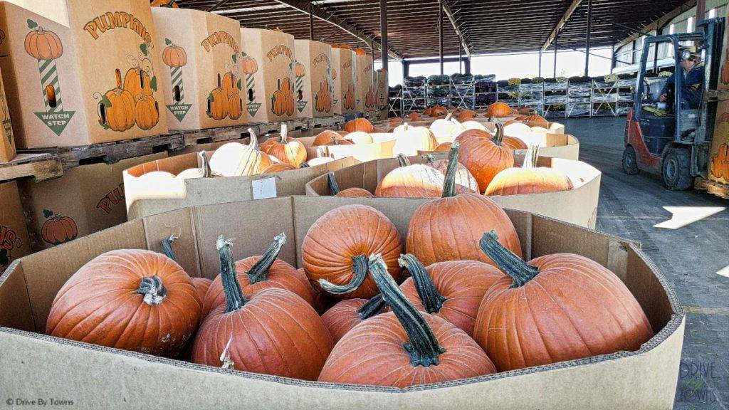 Palettes of pumpkins