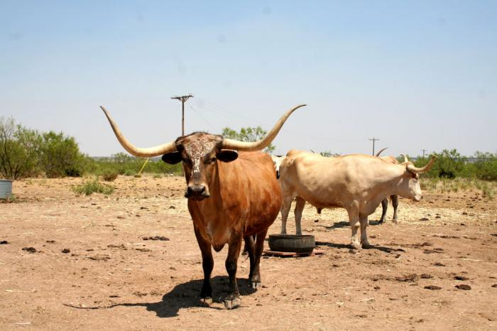 Texas Longhorn Cattle at Palo Duro Canyon