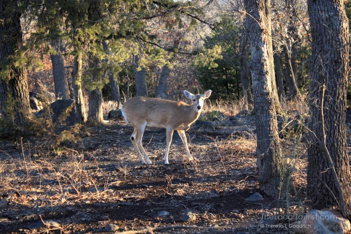 Deer at Wichita Mountains Wildlife Refuge