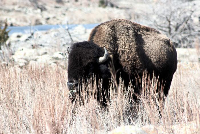 Bison at Wichita Mountain Wildlife Refuge