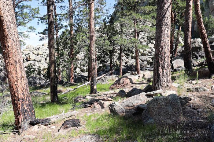 Burned bark of ponderosa pines