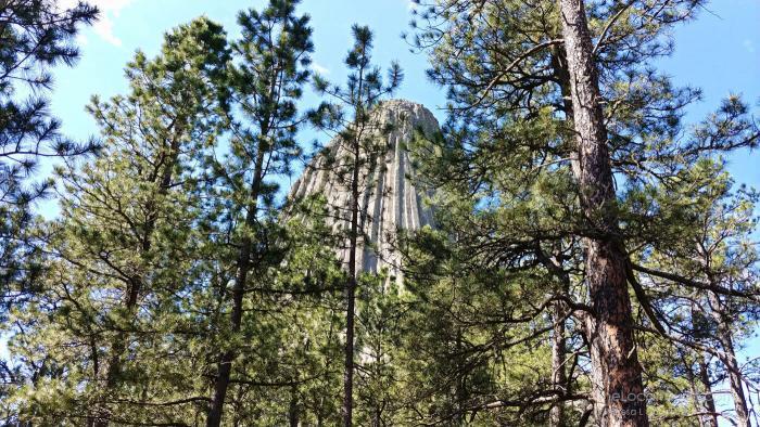 Devils Tower as seen through ponderosa pines