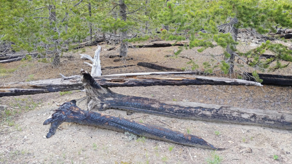 Lodgepole pine remnants from a forest fire in Yellowstone