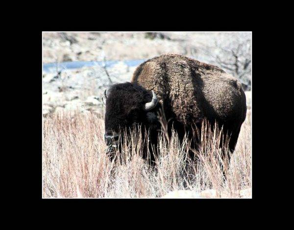Magnificent solitary bison in Wichita Mountains Wildlife Refuge with black mat