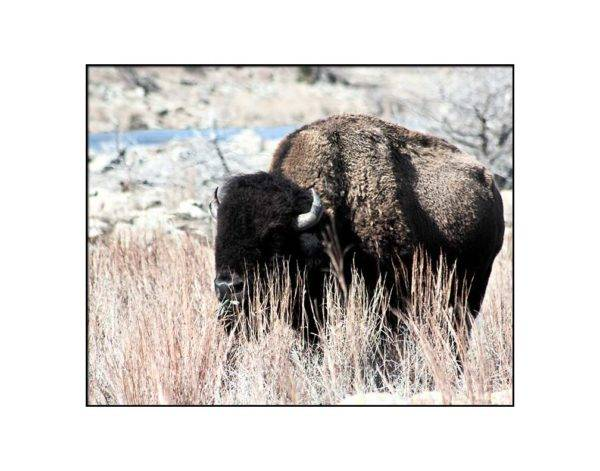 Magnificent solitary bison in Wichita Mountains Wildlife Refuge with white mat