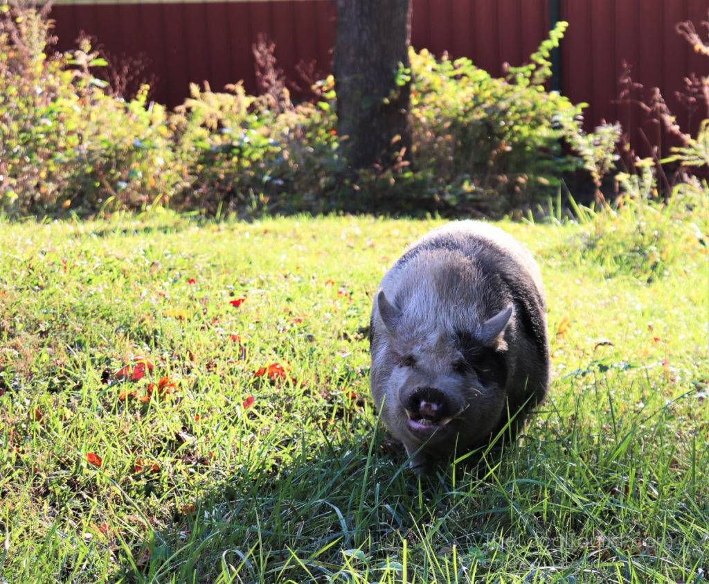 Hank, the potbellied pig at Natural Valley Ranch