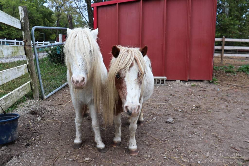 Miniature horses at Natural Valley Ranch
