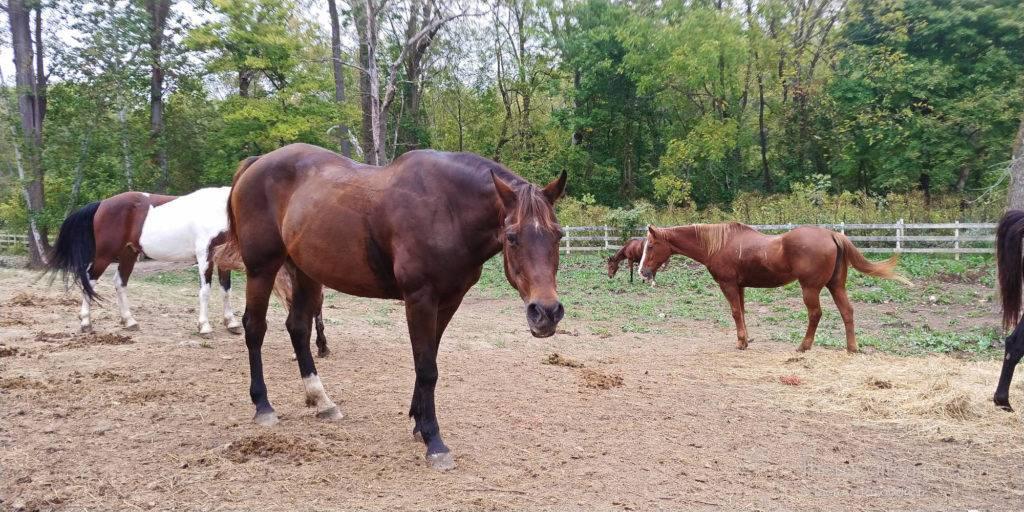 Horses at Natural Valley Ranch in Brownsburg, Indiana; photo credit Theresa Goodrich