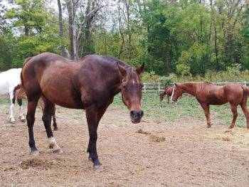 Horses at Natural Valley Ranch in Brownsburg, Indiana; photo credit Theresa Goodrich
