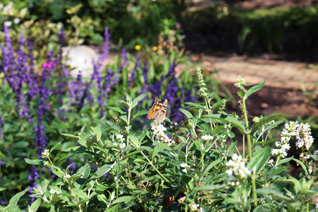 Monarch butterfly in the flowers at Avon Gardens