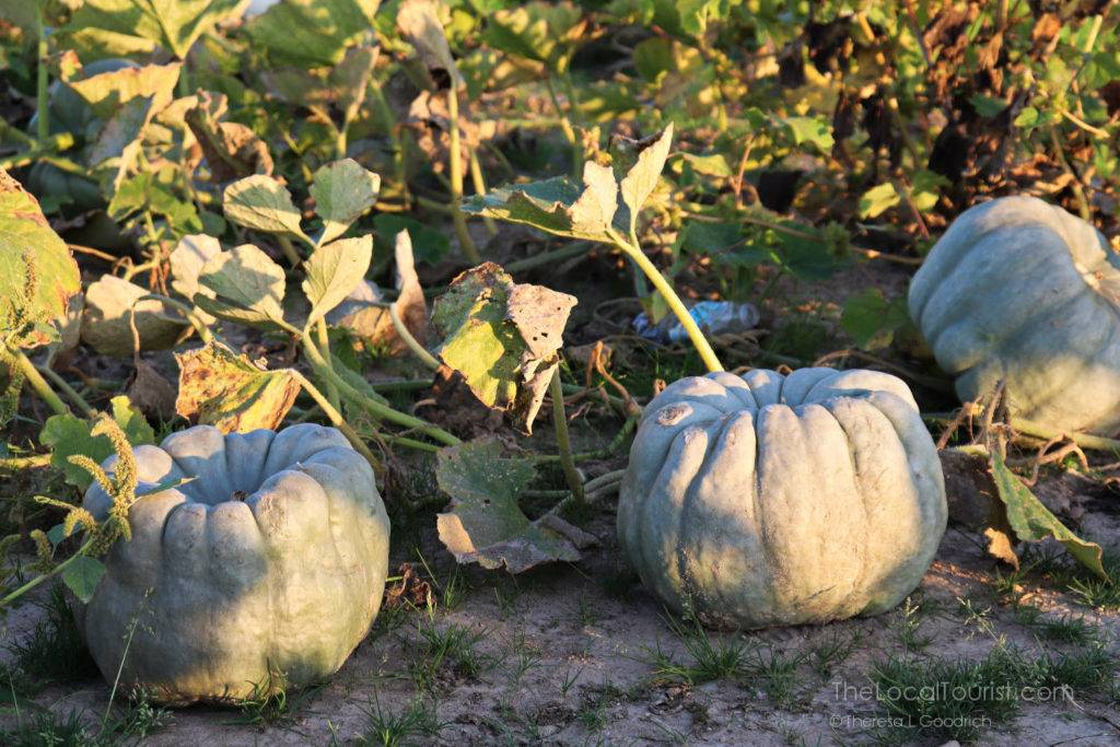 Patch of pumpkins at Beasley's Orchard